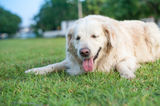 Relax golden retriver labrador Royalty Free Stock Photo