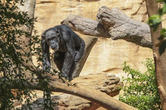 Relax Gorilla Stock Image