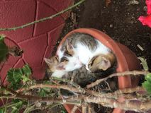 Relax kittens. My little kittens relaxing in my pot of flowers Royalty Free Stock Photos