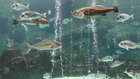 Relax saver - swimming fish. Rare species of fish. The underwater world of Greece. Beautiful relax saver stock video