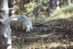 Relax in the shade. Sheep relaxing in the shade royalty free stock photos