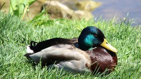 Relax And Sunbathing One Male Mallard. One wild duck relaxation and sunbathing  on green grass during springtime in Europe. freedom and easy way of life Royalty Free Stock Image