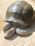 The relax of a tortoise. A tortoise sleeping on a hot day Royalty Free Stock Photo
