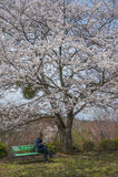 Relax under sakura tree Royalty Free Stock Image
