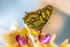Relax Your Mind. Tropical malachite butterfly and yellow orchidaseae Stock Image