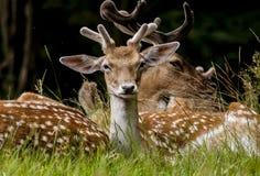Relaxamento selvagem dos cervos/Polônia/Europa Imagens de Stock