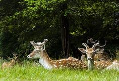 Relaxamento selvagem dos cervos/Polônia/Europa Fotografia de Stock