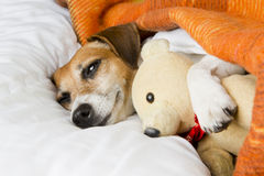 Relaxation tenderness and comfort dog Royalty Free Stock Photo