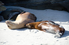 Relaxation time for a couple of sea lions at Point La Jolla. San Diego Royalty Free Stock Images