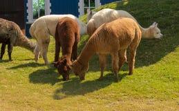 Relaxe alpacas imagem de stock royalty free
