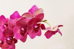 relaxe di colore dell'orchidea Fotografie Stock