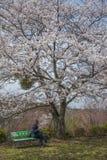 Relaxe sob a árvore de sakura Imagem de Stock Royalty Free
