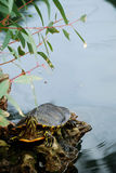A relaxe Turtle Royalty Free Stock Image