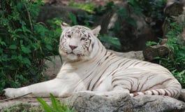 relaxed тигр Стоковая Фотография