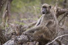Relaxed обезьяна стоковое фото