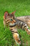 Relaxed. Bengali special breed cat relaxing in the grass Stock Photo