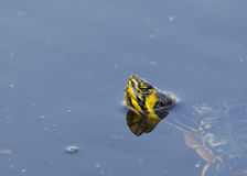 A relaxed adult Red-eared Slider Royalty Free Stock Photos