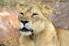 Relaxed African lion staring. In Zoo Royalty Free Stock Image