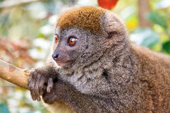 Relaxed bamboo lemur Stock Photo