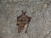 Relaxed bat Stock Image