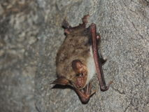 Relaxed bat Stock Photo