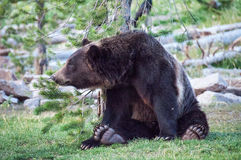Relaxed bear. A bear relaxes next to a small tree Stock Photography