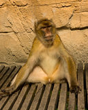 Relaxed berber monkey Royalty Free Stock Photography
