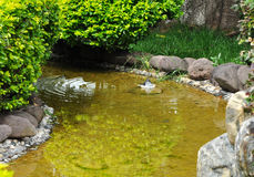 Relaxed bird in stream. A relaxed bird swims in a clean stream Royalty Free Stock Photography