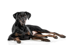 Relaxed black dog lying on a white background. Looking at the camera with a cute alert expression, with copyspace royalty free stock image