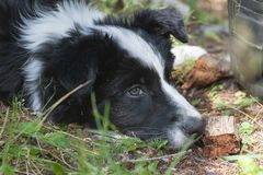 Relaxed Border Collie puppy. The Border Collie is a working and herding dog breed developed in the Scottish borders for herding livestock, especially sheep royalty free stock photography