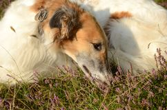Relaxed Borzoi sniffs in heather. Relaxed Borzoi lays doen, sniffs in heather stock photography