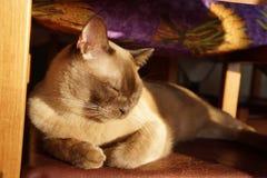 Relaxed Burmese cat sunny himself Royalty Free Stock Photos