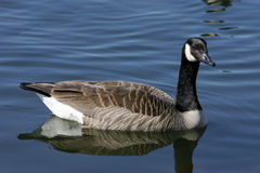 Relaxed canada geese. Taken at fielding park Royalty Free Stock Photography