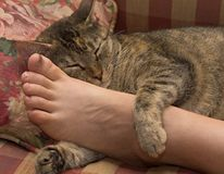 Relaxed cat. Sleepy, relaxed cat with leg and paw draped across human foot Stock Photo