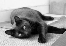 Relaxed Cat. Black cat relexing Royalty Free Stock Images