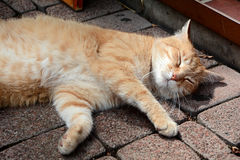 A relaxed cat Royalty Free Stock Photos