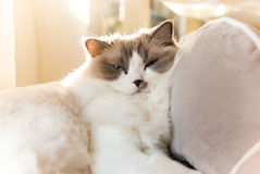 Cat relaxing in sun rays Ragdoll Breed Pedigree. Ragdoll female cat with blue eyes, blue bi color, 2 years old. Kitty Sunbathing, relaxing in the sun rays. White royalty free stock photography