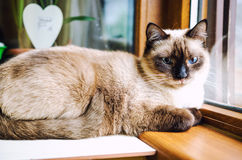 Relaxed cat. Relaxed Siamese kitten with blue eyes looking on the window stock image