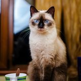 Relaxed cat. Relaxed siamese cat next to a mug stock photo