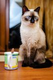 Relaxed cat. Relaxed siamese cat next to a mug stock photography