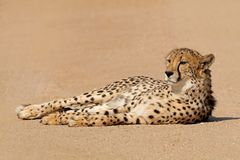 Relaxed cheetah lying down Royalty Free Stock Images