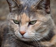Relaxed close-up of grey and ginger tortoiseshell tabby cat with green eyes. Looking down stock photo