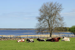 Relaxed cows Stock Images