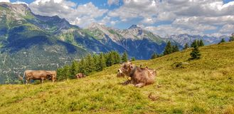 Relaxed cows on the mountain stock photo