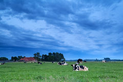 Relaxed cows on pasture in dusk Stock Photo