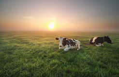 Relaxed cows on pasture at sunrise Royalty Free Stock Images
