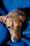 Relaxed Dachshund. A relaxed dachshund laying on a blue blanket, looking up at the camera Stock Photo