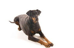 Relaxed Dobermann. Relaxed Doberman watching attentively for a command Royalty Free Stock Photography