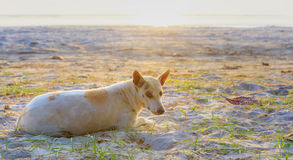 Relaxed dog on the beach sand Royalty Free Stock Image
