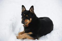 Relaxed dog in the snow Stock Image